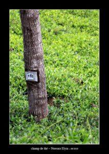 dans un champ de thé à Nuwara Elyia - thierry llopis photographies (www.thierryllopis.fr)